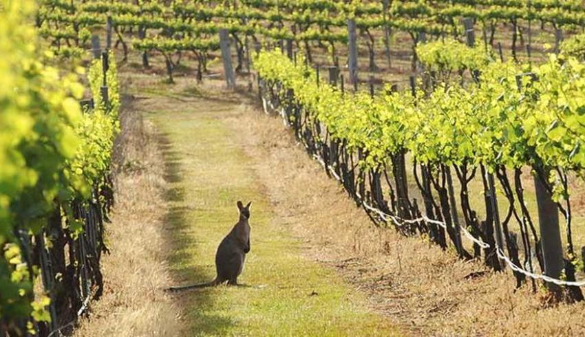 vineyard with kangaroo